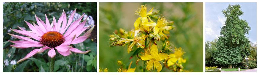 Photographies des plantes permettant de fabriquer trois médicaments différents. Echinicea purpurea est une grande fleur d'un rose lumineux; le millepertuis a des petites grappes de fleurs jaunes étoilées et le gingko bilboa est un arbre feuillus de grande taille.