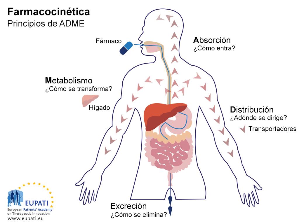 Este es un diagrama en el que se explican los principios de la farmacocinética (ADME). En el diagrama se muestra una ilustración del cuerpo humano, incluidos el aparato digestivo (boca, esófago, estómago, intestino delgado e intestino grueso) y el hígado. Los principios de ADME están relacionados con la interacción del fármaco con el organismo y viceversa. En el caso de la absorción (representada mediante la administración de un comprimido) se plantea la pregunta «¿Cómo entra?». En el caso de la distribución, la pregunta es «¿Adónde se dirige?». La distribución del fármaco desde el estómago a través del torrente sanguíneo hasta el organismo se representa aquí mediante una serie de flechas. En el caso del metabolismo, la pregunta es «¿Cómo se transforma?». Esto se representa mediante la inclusión del hígado en el diagrama. La pregunta en el caso de la excreción es «¿Cómo se elimina?» y se representa con flechas que proceden del colon.