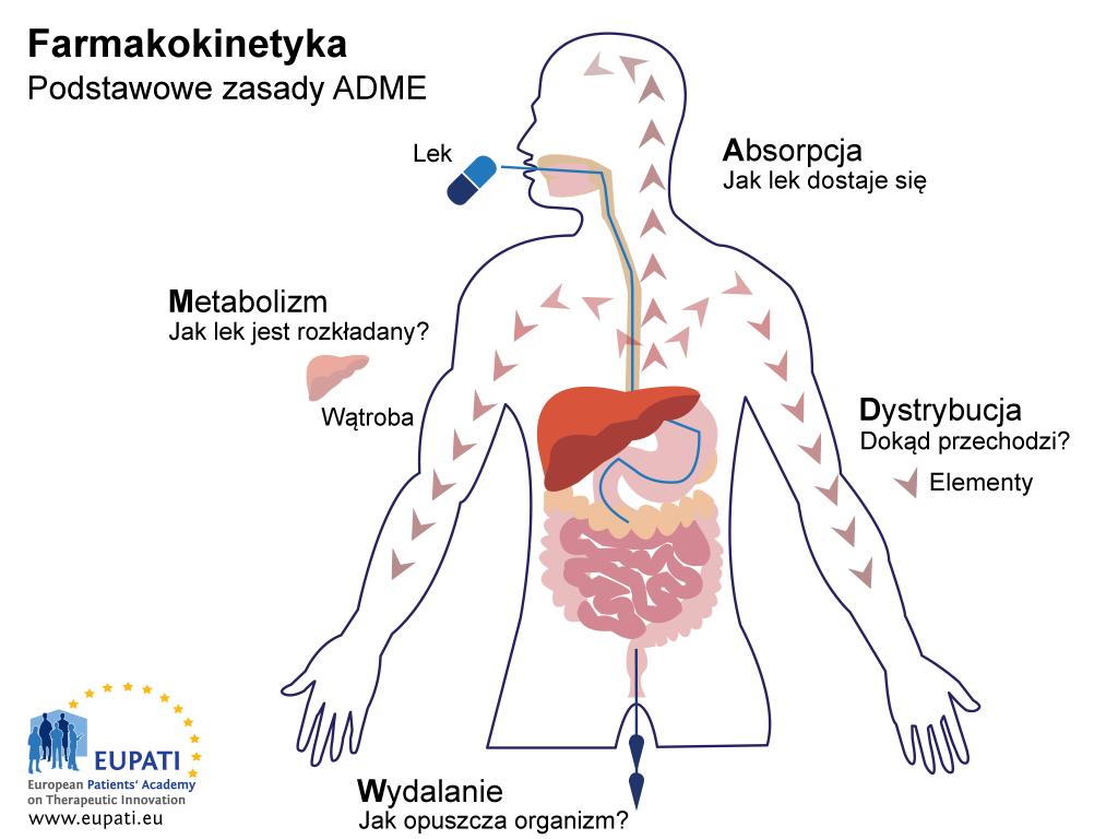 """Schemat objaśniający podstawy farmakokinetyki: ADME. Na schemacie widoczny jest kontur ludzkiego ciała z układem trawiennym (jama ustna, przełyk, żołądek, jelito cienkie i grube) oraz wątrobą. Podstawy określane jako ADME dotyczą interakcji leku z organizmem i vice versa. Absorpcja (przedstawia ją podanie tabletki) wiąże się z pytaniem """"Jak lek dostanie się do organizmu?"""" Dystrybucja wiąże się z pytaniem """"Dokąd lek się przemieszcza?"""" Dystrybucja leku z żołądka przez krwiobieg do całego organizmu jest przedstawiona za pomocą serii strzałek. Metabolizm wiąże się z pytaniem """"Jak lek jest rozkładany?"""" Jest to przedstawione na schemacie za pomocą wątroby. Eliminacja (wydalanie) wiąże się z pytaniem """"Jak lek opuszcza organizm"""" i przedstawiają ją strzałki wychodzące z jelit."""