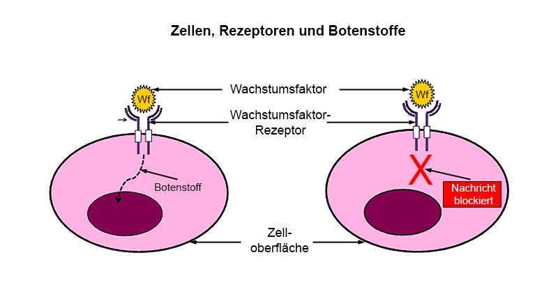 """Zellen, Rezeptoren und Botenstoffe. Der Wachstumsfaktor, ein chemischer Botenstoff, koppelt an den Wachstumsfaktor-Rezeptor an der Zelloberfläche und löst damit eine Nachricht an den Zellkern aus. Durch das Blockieren des Rezeptors kann die Übermittlung der Nachricht und damit ein unkontrolliertes Zellwachstum verhindert werden. Das """"Target"""" ist in diesem Diagramm folglich der Wachstumsfaktor-Rezeptor."""